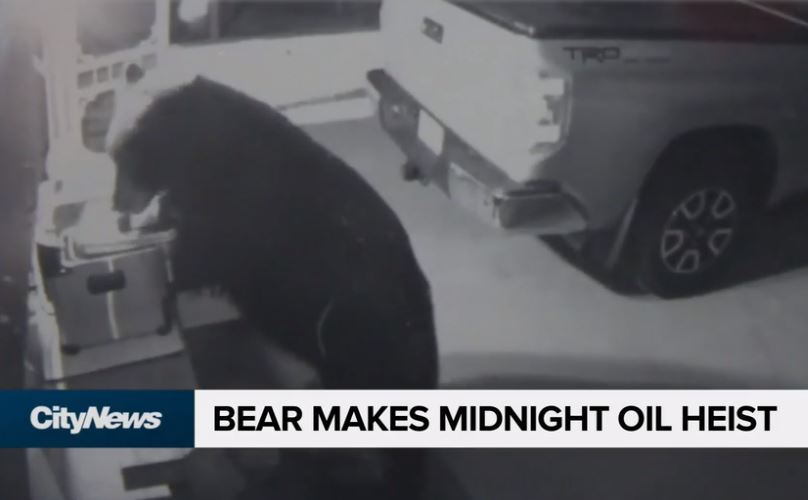 Bear Makes Midnight Oil Heist